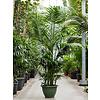 Kentia howea forsteriana palm