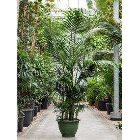 Fleur.nl - Kentia howea forsteriana palm