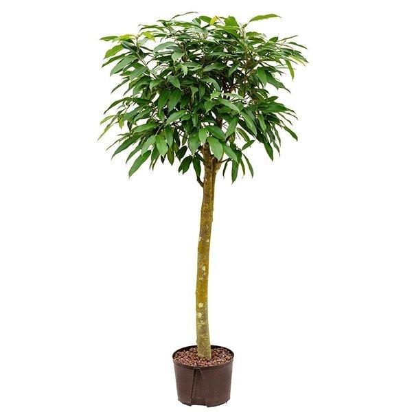 Ficus Amstel King op stam XL - hydrocultuur