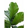 Ficus Lyrata XXL