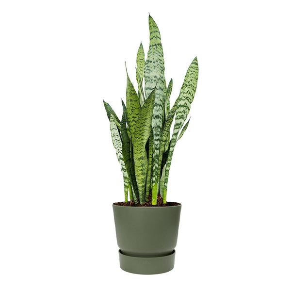 Sansevieria Zeylanica Medium in Greenville Ø 25 cm