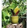 Croton Iceton toef - hydrocultuur