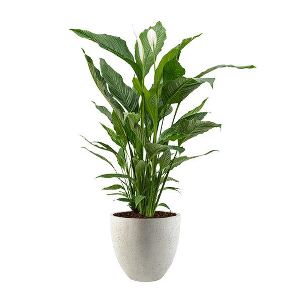 Spathiphyllum Lepelplant in Luca Lifestyle Egg Ø 32 cm