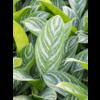 Aglaonema Stripes in Elho Pure Soft hoog Ø 30 cm