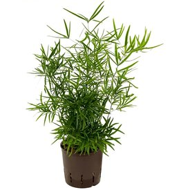 Fleur.nl - Asparagus Falcatus - hydrocultuur