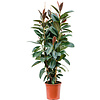 Ficus Elastica 'Melany' toef