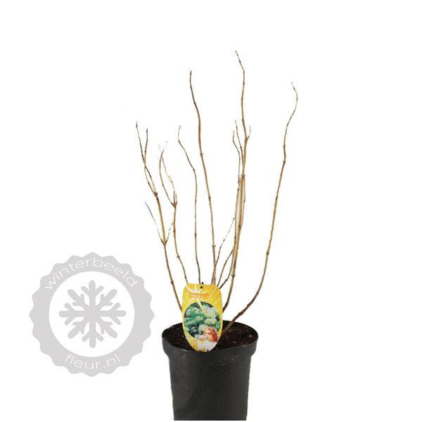 Hydrangea arborescens 'Strong Annabelle'