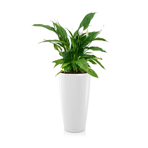 Spathiphyllum Lepelplant Large in Lechuza Rondo Ø 32 cm - TH 120 cm