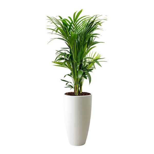 Palm Kentia Howea in Pot Elho Large