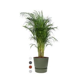 Fleur.nl - Areca Palm Small in Pot Greenville