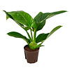 Philodendron Imperial Green - hydrocultuur