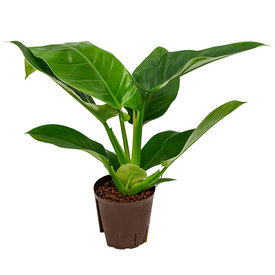 Fleur.nl - Philodendron Imperial Green - hydrocultuur