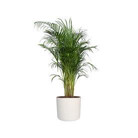 Fleur.nl - Areca Palm Small in Elho Soft 22 cm