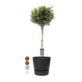 Fleur.nl - Olijfboom op stam Medium in Elho Greenville Ø 25 cm