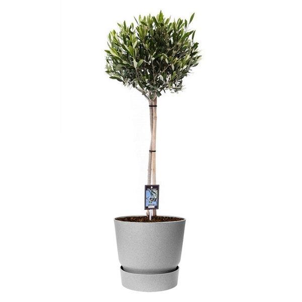 Olijfboom op stam Medium in Elho Greenville Ø 25 cm