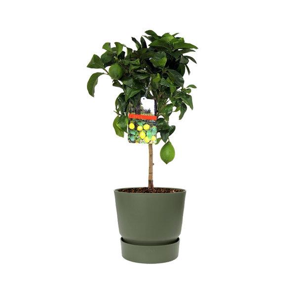 Citroenboom in Elho Greenville Round Ø 25 cm