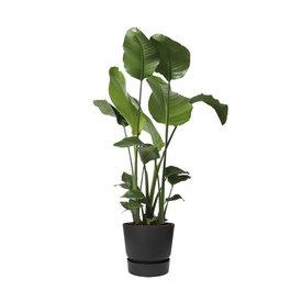 Fleur.nl -Elho Strelitzia Nicolai in greenville pot Ø 30