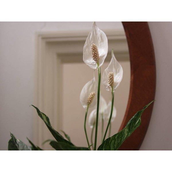 Spathiphyllum Lepelplant in Baq Metallic Partner Ø 34 cm