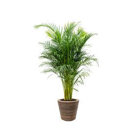 Fleur.nl - Areca Palm Large in Drypot Rattan