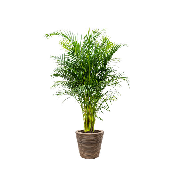 Areca Palm Large in Drypot Rattan