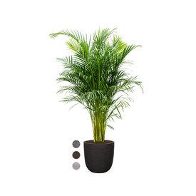 Fleur.nl - Palm Areca Large in Capi Rib Nature Egg Ø 35