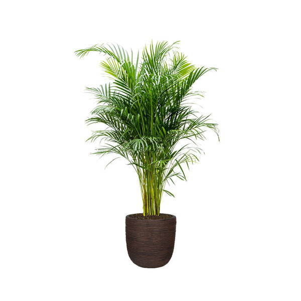 Palm Areca Large in Capi Rib Nature Egg Ø 35