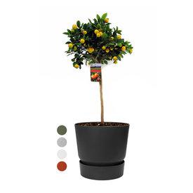 Fleur.nl - Sinaasappelboom Large in Elho Greenville Ø 25 cm