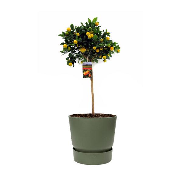 Sinaasappelboom Large in Elho Greenville Ø 25 cm