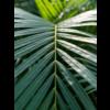 Areca Palm Large in Drypot Rattan