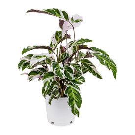 Fleur.nl - Calathea 'Fusion White'
