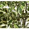 Ficus Liana variegata - kunstplant