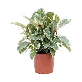Fleur.nl - Ficus Elastica 'Tineke'