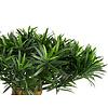 Podocarpus Vertakt - kunstplant