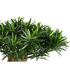 Podocarpus Mountain - kunstplant