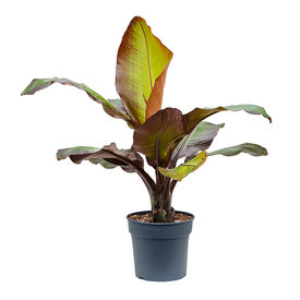 Fleur.nl - Bananenplant Ensete (Musa) ventricosum 'Maurelii'