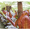 Bananenplant Ensete (Musa) ventricosum 'Maurelii'