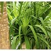 Beaucarnea Olifantenpoot medium