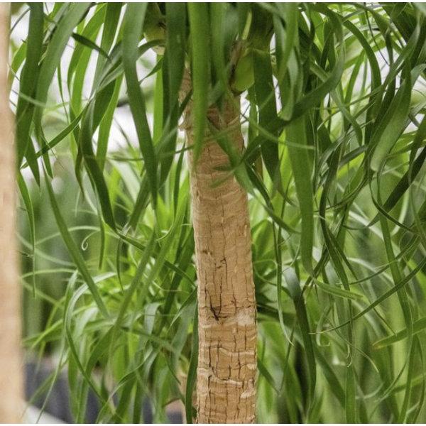 Beaucarnea Recurvata XL - hydrocultuur