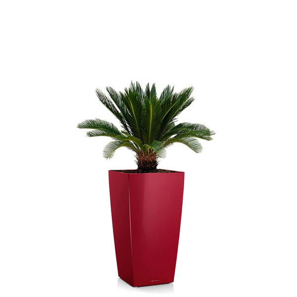 Cycas Palm in watergevende pot Cubico