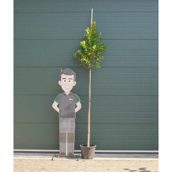 Arbutus Unedo Aardbeienboom