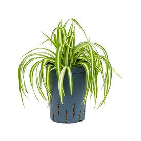 Fleur.nl - Chlorophytum comosum 'Variegatum' - hydrocultuur