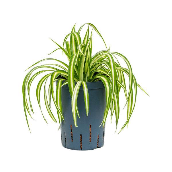 Chlorophytum comosum 'Variegatum' - hydrocultuur