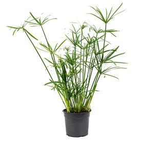 Fleur.nl - Cyperus alternifolius