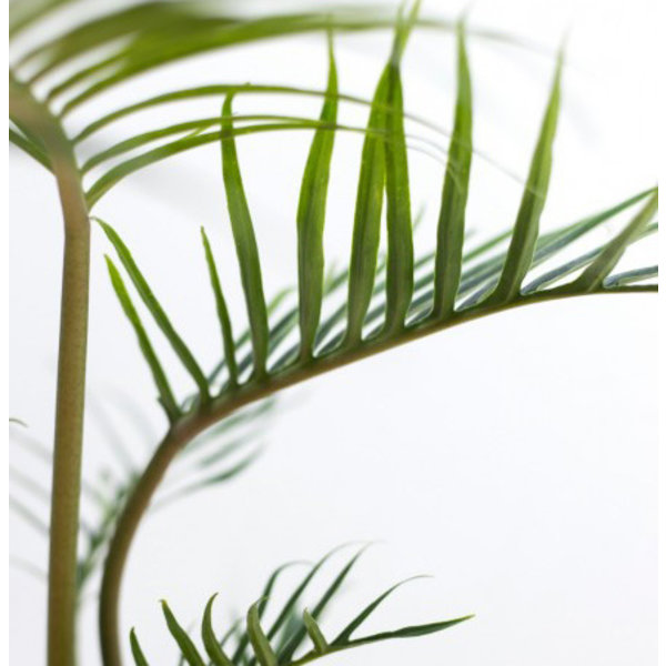 Philodendron 'Polypodioides Tortum'
