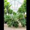 Philodendron Selloum XXL