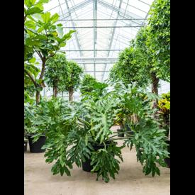 Fleur.nl - Philodendron Selloum XXL