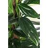 Philodendron 'Cobra' met mosstok