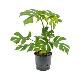 Fleur.nl - Philodendron Minima - hydrocultuur