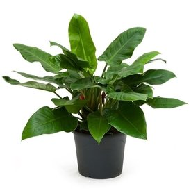 Fleur.nl - Philodendron Imperial Green Large