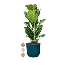 Fleur.nl - Ficus Lyrata Small in Elho Vibes XL